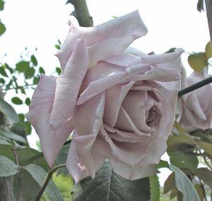 631px-RosaSerenissima